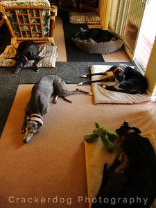 The room of black (and near-black) hounds