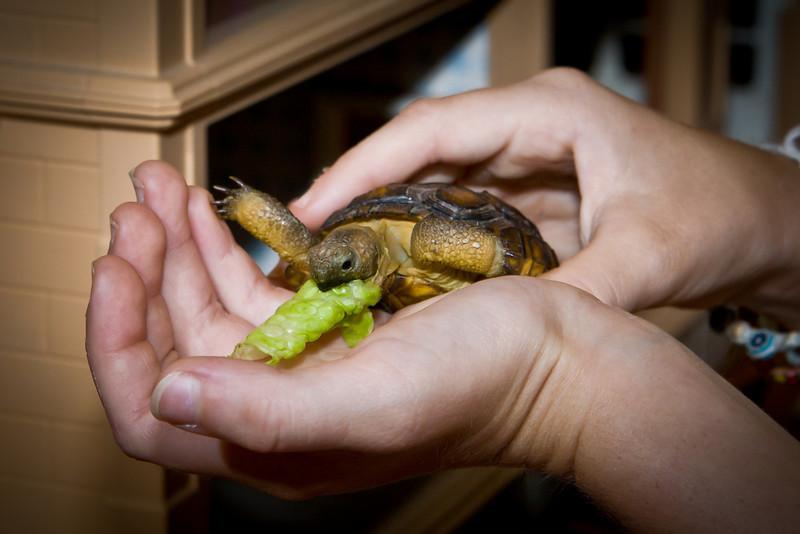 Desert Tortoise Tucson, AZ