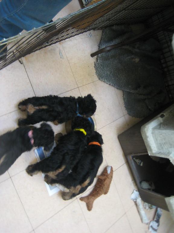 2011 Puppies
