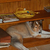 Silly dog. Finds the bookcase in David's office a safe place to sleep