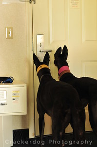 Zuni (left) and Kali try to open the door with their greyhound minds...