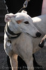 2011 West Coast Greyhound Gathering, Solvang, CA : 4 galleries with 268 photos