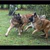 Foxie mal en point, avec Iwa qui lui bouffe les jarrets et Hermes qui va lui sauter dessus