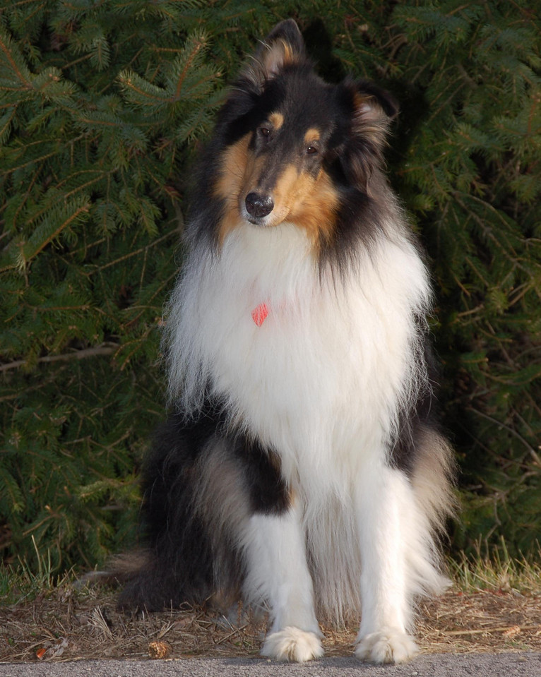 This is Jonathan, a tri-collie. He was scheduled for destruction at a pound, but luckily was saved by a Collie rescue group. After my first search & rescue partner passed away, I went in search of a new partner and was adopted by him at first sight. <br /> He's quite a partner... I always wondered just how far he'd go to protect me. During the summer of 2006, three men set me up for a robbery in an interstate rest area. Jonathan went into 'attack mode' and ran them off... I count myself fortunate to be partners with such a dedicated friend!