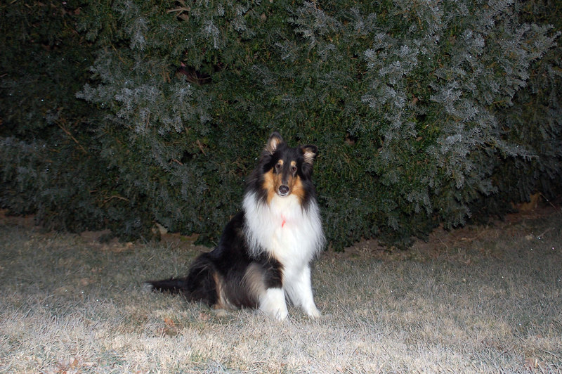 Our first heavy frost of the season... so heavy that it My buddy in the photo is Jonathan, a tri-collie.   He was scheduled for destruction at a pound, but luckily was saved by a Collie rescue group.   After my first search & rescue partner passed away, I went in search of a new partner and was adopted by him at first sight.   <br />    He's quite a partner... I always wondered just how far he'd go to protect me.   During the summer of 2006, three men set me up for a robbery in an interstate rest area.   Jonathan went into 'attack mode' and ran them off... I count myself fortunate to be partners with such a dedicated friend!