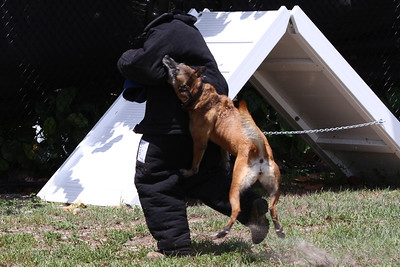 Hard to run with a Belgian Malinois on your back. Don't miss new photos.  Get notifications via: