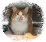 """Cash got adopted,  9-25-03<br /> <br /> """"Cash"""", is a handsome medium haired young adult Orange and White Tabby fellow. <br /> <br /> He was going to be dumped back in the Fred Meyer parking lot in Shelton because he wasn't the cat on the poster with the large reward. <br /> <br /> The lady who is still looking for her lost cat couldn't think about """"Cash"""" being dumped in such a dangerous spot that she took him to Shelton Veterinary Hospital and Dr. Olson was boarding him until he could find a home. <br /> <br /> He's very sweet and personable despite his previous abandonment. He just wanting to be loved on and cradled."""