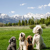 The poodles in Jackson Hole, WY