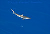"""Brown Bomber"" silky shark on a flat-calm day"