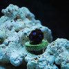 DSC_9253 This tub blue zoa frag was added to my aquarium 2Sep09. Grow buddy grow!!!