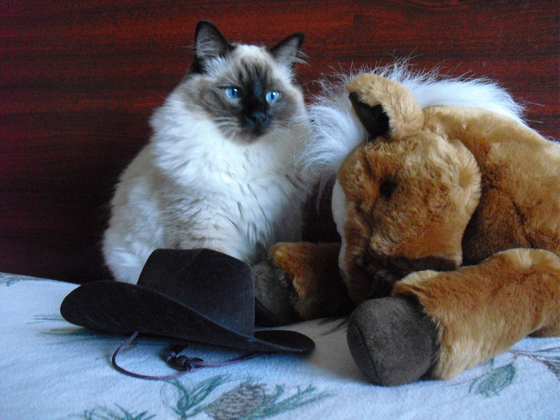 Meet Panzer, the Ragdoll cowboy!