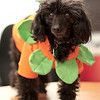 Leilani shows off her tiny pumpkin costume.