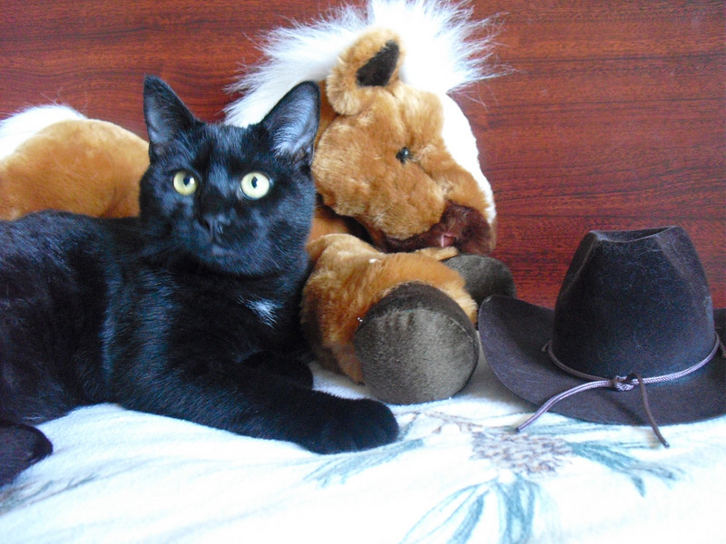 Aki, adopted from Seattle Humane, poses as a cowboy kitty this Halloween.