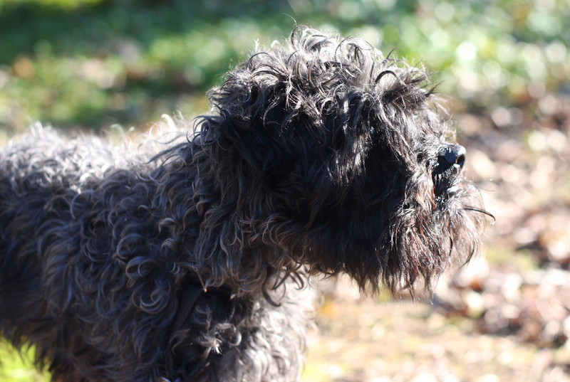 Lucas, 4-year-old Miniature Poodle/Schnauzer mix