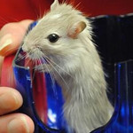 Blueberry, a 2-month-old gerbil.