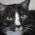 Monty, an 8-year-old smoke tabby cat,