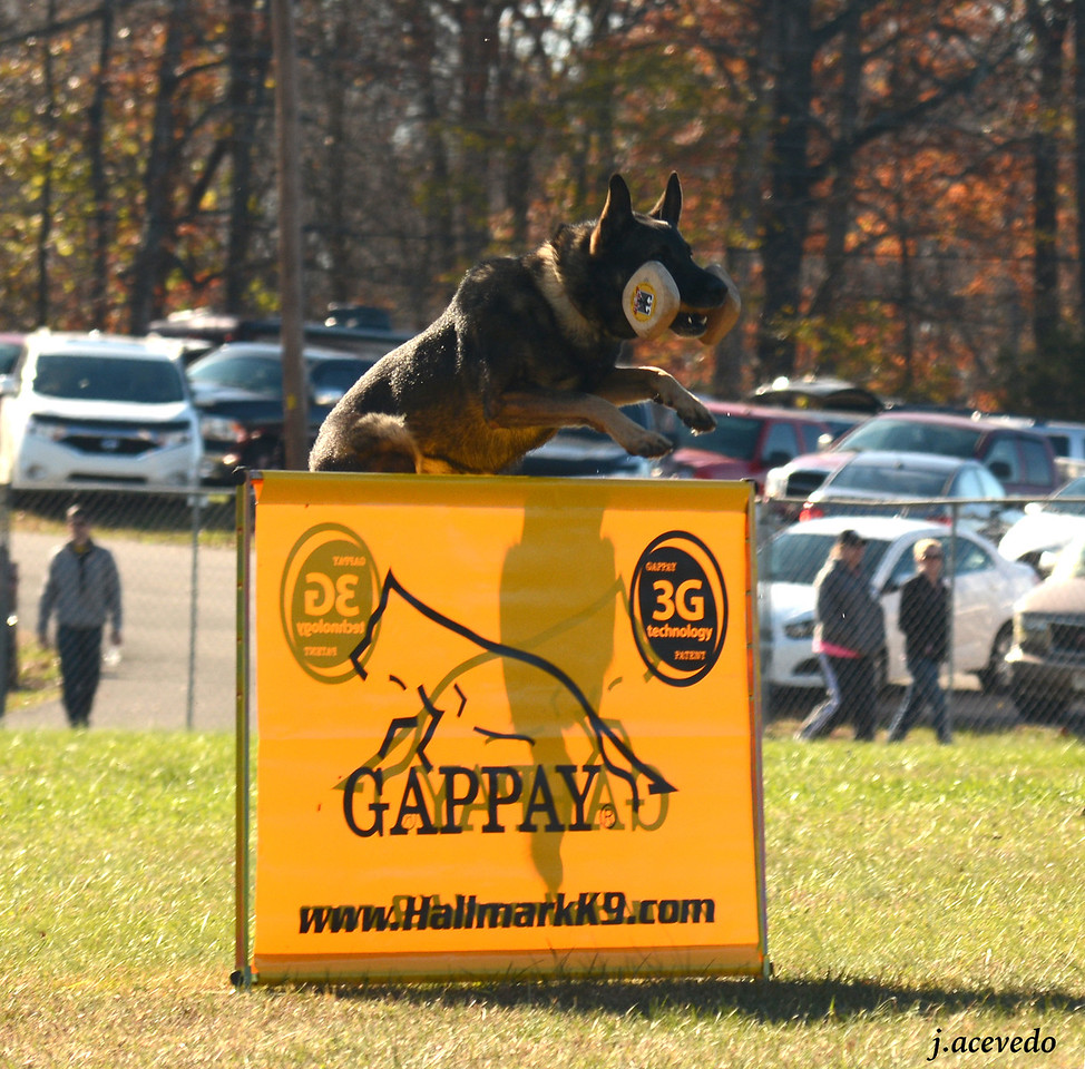 Athos, retrieve over the meter hurdle<br /> 2015 USCA National Championships