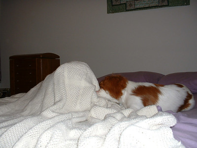 Jasmine hinding under the covers and Auburn trying to pull the covers off.