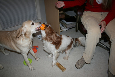 Jasmine and Auburn playing tug-a-war - 2008.