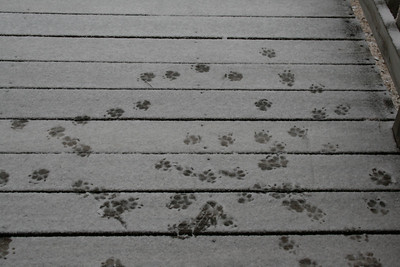 Auburn's paw prints on the deck - 1.19.08.