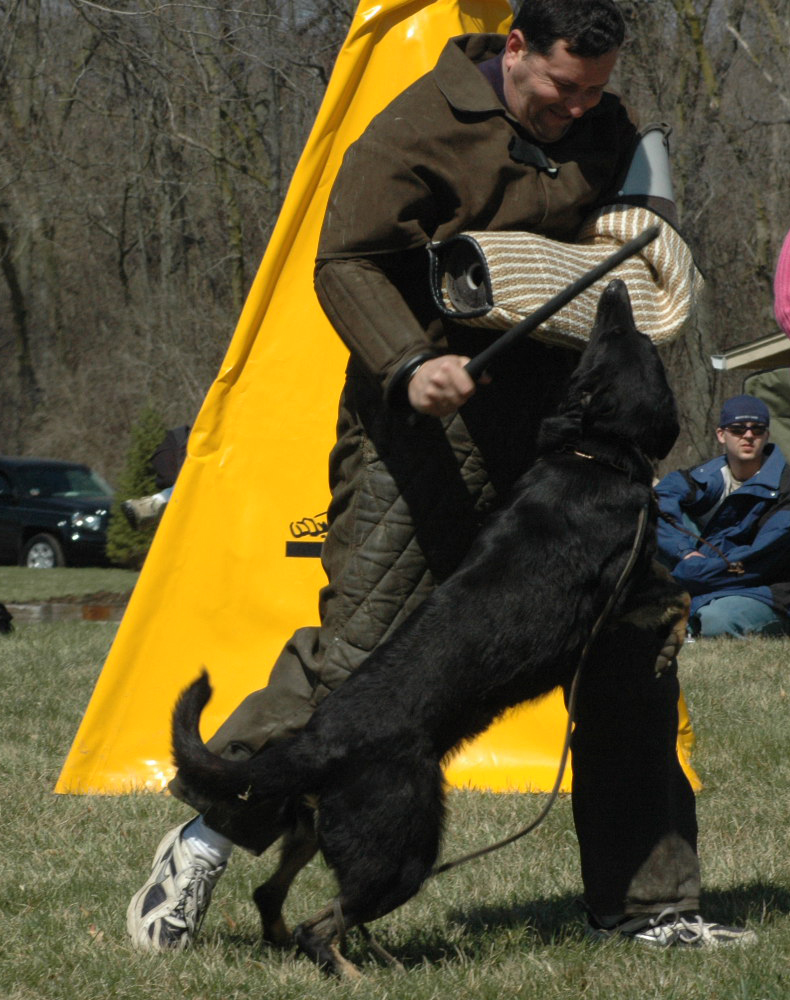 USA Regional Helper certification<br /> April 8, 2006<br /> <br /> Ayla was used as the attack out of the blind dog for the helpers working toward regional and national level certification.