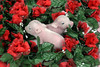 6 day old mini piglets