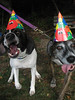 Two more dogs wearing hats.