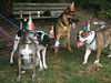 Four dogs in hats: Zoie, Rooney, Baron, and Atticus.