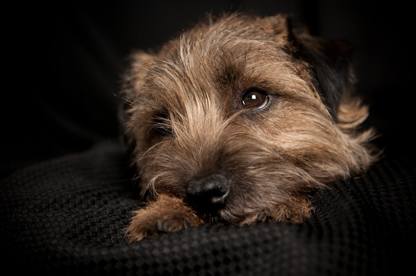 Basil our Border Terrier