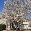 Gorgeous spring day:  sunny and 79 degrees.  Blossomtime in Austin, TX