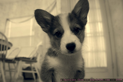 Bella, the Baby Welsh Corgi!