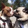 Cooper and Doug the Pug