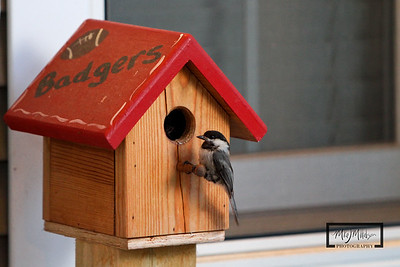 Chickadee Badger Birdhouse © Copyright m2 Photography - Michael J. Mikkelson 2009. All Rights Reserved. Images can not be used without permission.