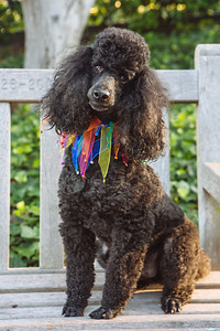 Boogie the Mini Poodle