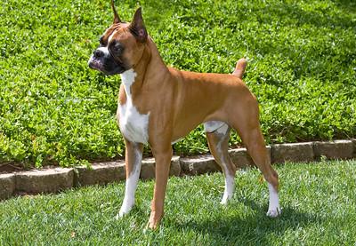 IMAGE: https://photos.smugmug.com/Pets/Boxers/i-WkBNK9g/0/06389948/S/Boxer%20017-S.jpg