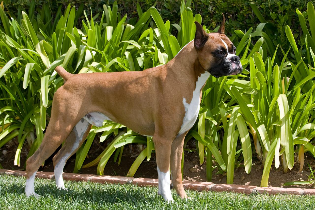 IMAGE: https://photos.smugmug.com/Pets/Boxers/i-dVPmfsX/0/8a97d909/X2/Boxer%20019-X2.jpg