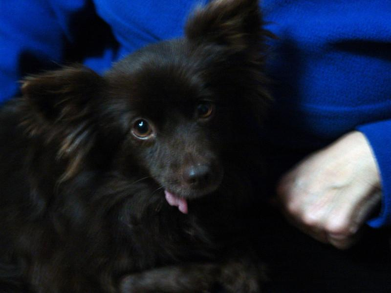 Princess--I'm not convinced this qualifies as a dog---she's more like an oversized squirrel.  She is a Papillon and something else.  Someone shot her in her right leg, and so she gets around on the other 3.  She was also hit by a car and is missing the lower part of her jaw.  But that doesn't keep her from being the most hyper lap dog you've ever met.