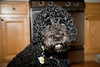 CHARLIE BOY : IT'S NOT A POODLE. IT'S A PORTUGUESE WATER DOG