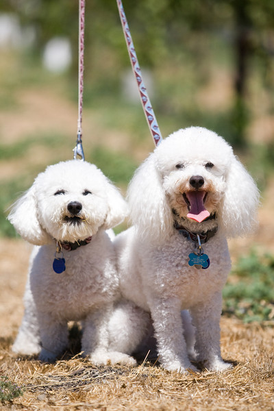 Mini Poodle