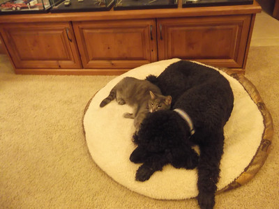 Poodles can be snuggly too!