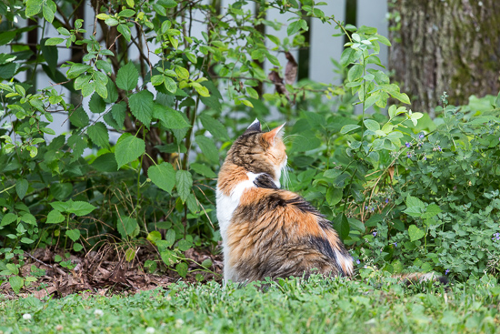 Calico Cat in the Yard   Sidewalk Shoes