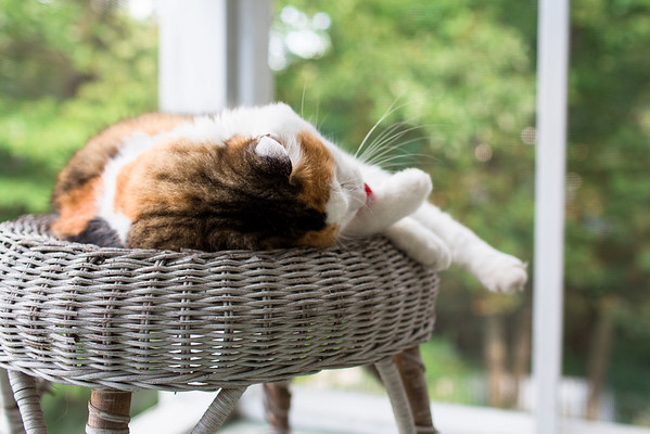 Calico cat cleaning