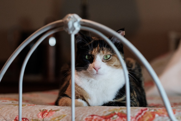 Calico cat on old iron bed.