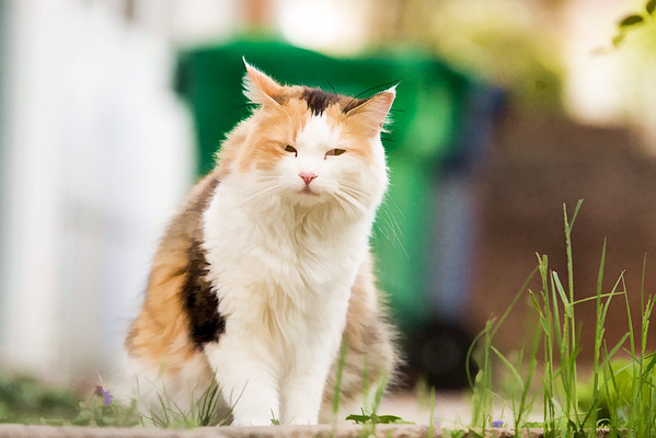 Calico cat using topaz plugins