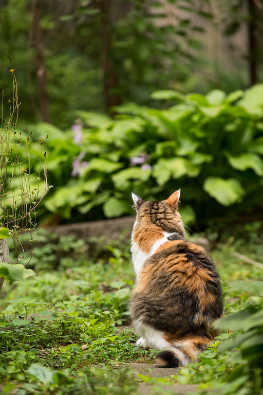 Calico cat on the garden path