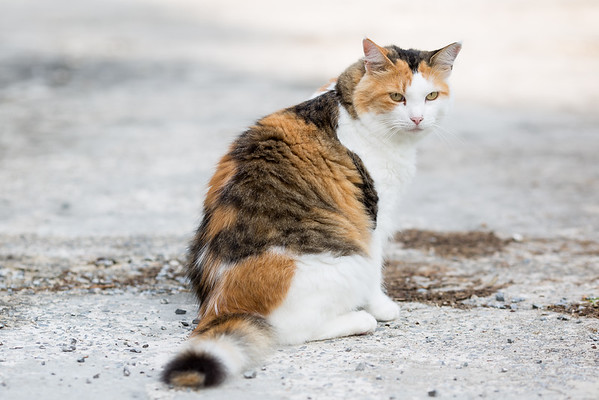 Calico cat on driveway