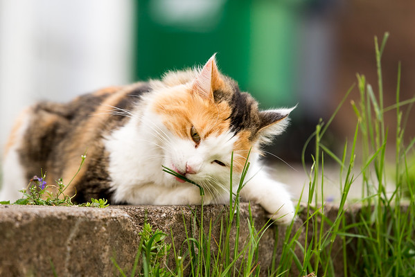 Calico cat eating grass