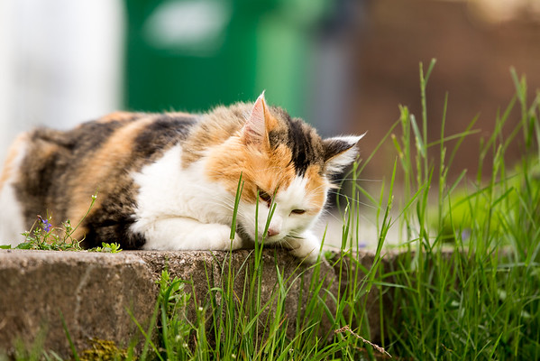 Calico cat with grass