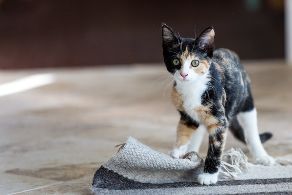 Luxie our Calico Kitten