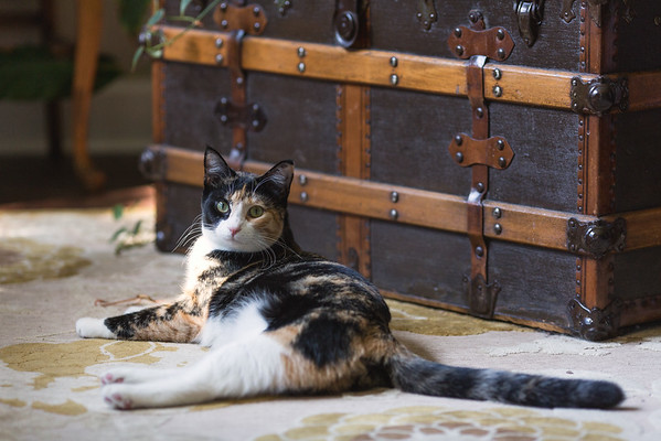 Calico cat in front of antique trunk